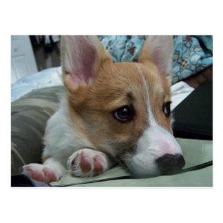pembroke welsh corgi puppy 2 postcard