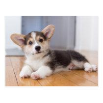Pembroke Welsh Corgi Puppy Postcard