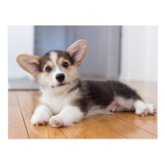 Pembroke Welsh Corgi Puppy Postcard