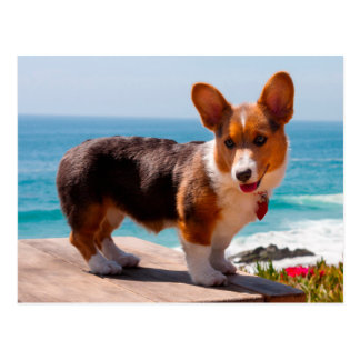 Pembroke Welsh Corgi puppy standing on table Postcard