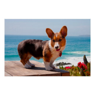 Pembroke Welsh Corgi puppy standing on table Poster