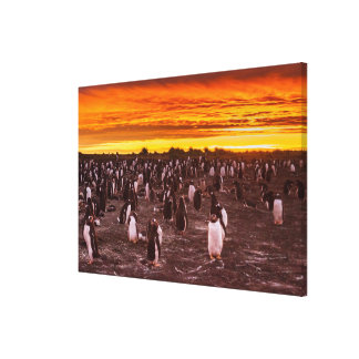 Penguin colony at sunset, Falkland Canvas Print
