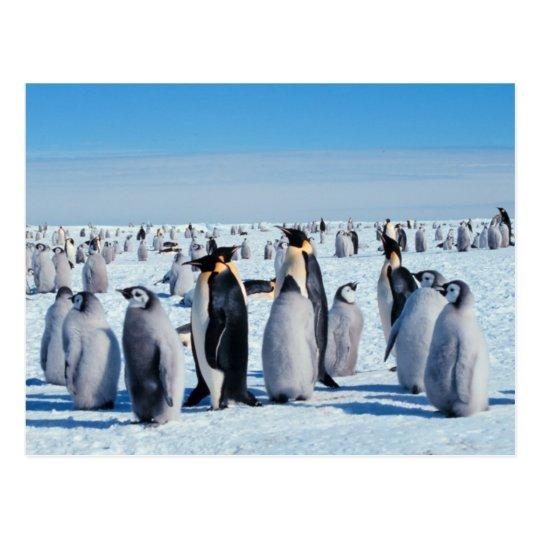 Penguin Gathering Postcard
