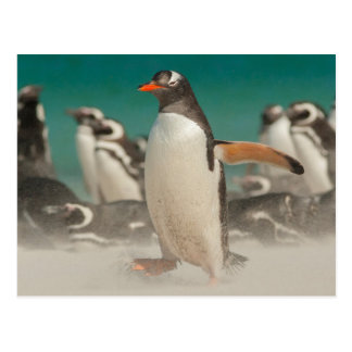 Penguin group on beach, Falklands Postcard