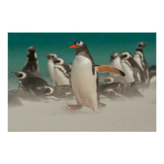 Penguin group on beach, Falklands Poster