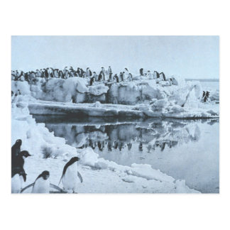 Penguin Herd Postcard