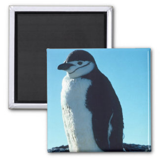 Penguin Looking out Refrigerator Magnets