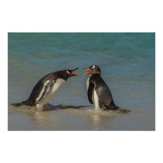 Penguins arguing, Falkland Islands Poster