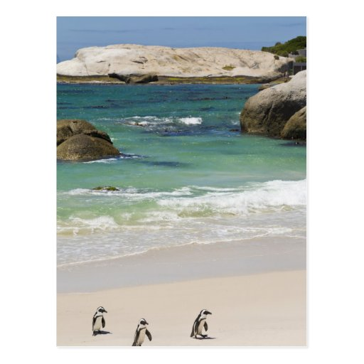 Penguins at Boulders Beach, Simons Town, South 2 Post Cards