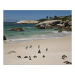 Penguins at Boulders Beach, Simons Town, South Poster
