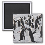 Penguins at Play 2 Inch Square Magnet