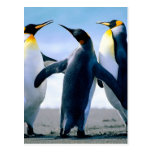 Penguins- Foto Maravilhosa Postcard