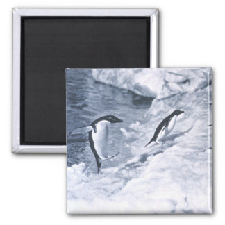 Penguins Jumping onto Land. 2 Inch Square Magnet
