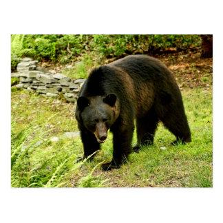Pennsylvania Black Bear Postcard