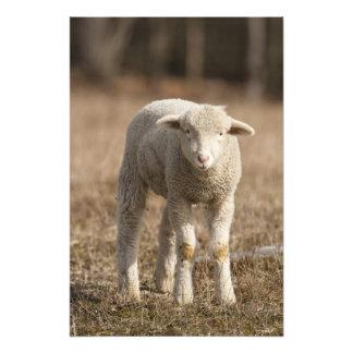 Pennsylvania central, los E.E.U.U., ovejas naciona Cojinete