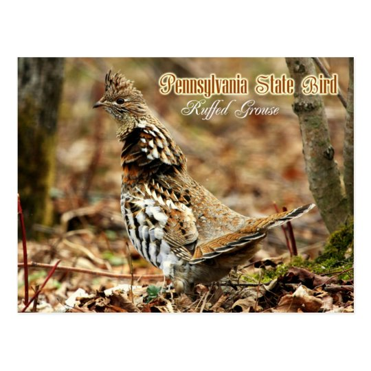 pennsylvania state bird ruffed grouse postcard