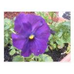 pensamientos púrpuras postal