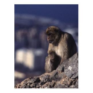 Pensive Monkey in Gibraltar Postcard