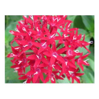Penta Red Flower Postcard