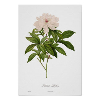 Peonia albiflora posters