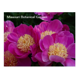 Peonies at Missouri Botanical Garden Postcard