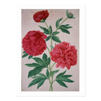 Peonies, plate 46 from the Nassau Florilegium (w/c Postcard