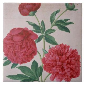 Peonies, plate 46 from the Nassau Florilegium (w/c Tiles