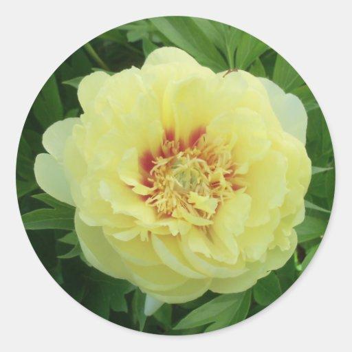 Peony amarillo precioso Phot de Bartzella del Pegatina Redonda