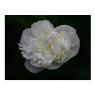 """peony"" by Coressel Productions Postcard"