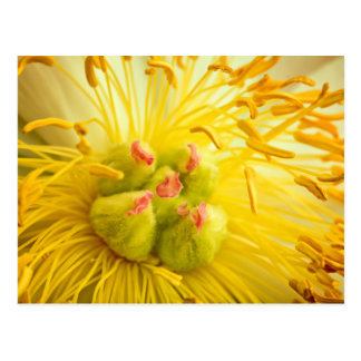 Peony Flower Macro Postcard