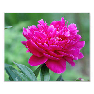 Peony flower photo print
