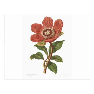 Peony, imagen botánica del Victorian antiguo Tarjetas Postales