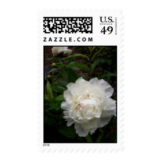Peony in bloom photo by Gwen Billips Postage