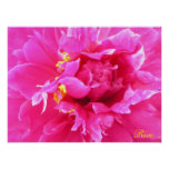 Peony in Bloom Poster/Painting