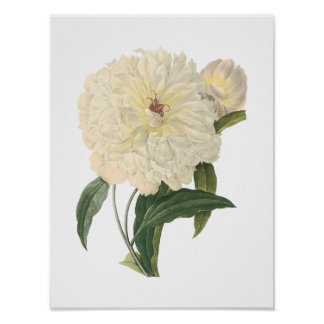 peony(Paeonia flagrans) by Redouté Poster