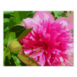 Peony Pink Flower Posters