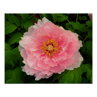 Peony Pink Lush Floral Poster