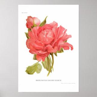 Peony  'Reine Elizabeth' Poster
