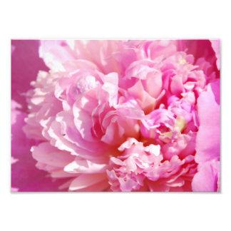 Peony rosado de la fotografía
