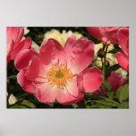 Peony rosado hermoso impresiones