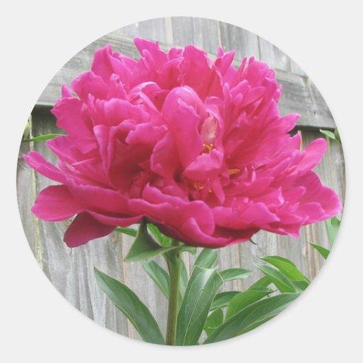 Peony rosado etiqueta redonda