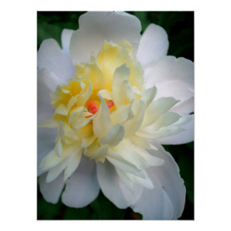 Peony Rose Posters