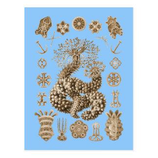 Pepinos de mar postal