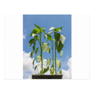 Pepper plant plug postcard