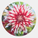Peppermint Dahlia Sticker