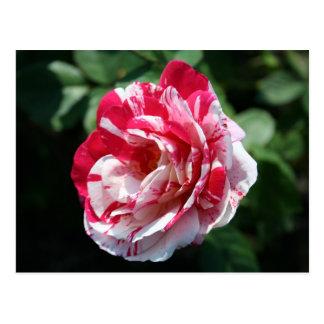 Peppermint Rose Postcard