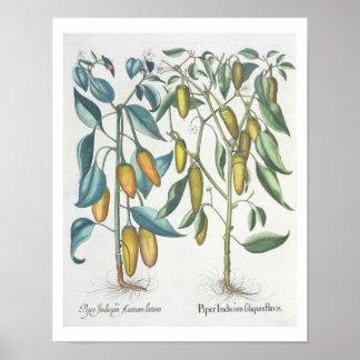 Peppers: 1.Piper Indicum filiquis flavis; 2.Piper Poster