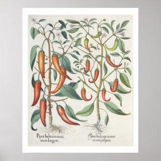 Peppers: 1.Piper Indicum maximum longum; 2.Piper I Poster