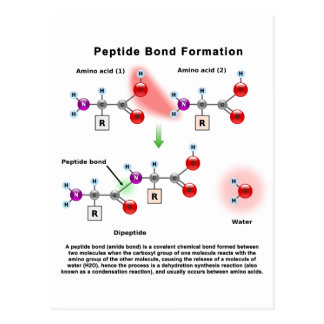Peptid Bond Formation Diagram Postcard
