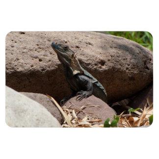Pequeña iguana en las rocas; Ningún texto Imán